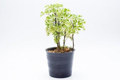 ポリシャス 観葉植物 ポット苗