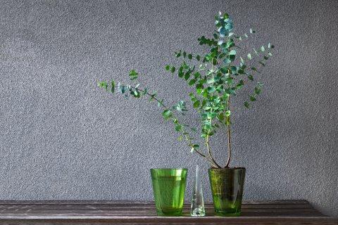 ユーカリ 鉢植え 室内