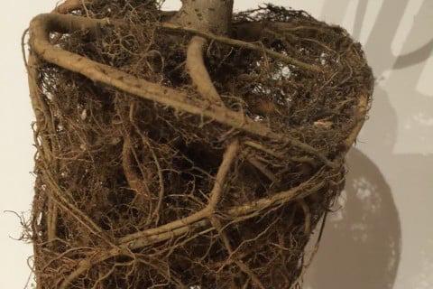 観葉植物 ウンベラータ 植え替え 根詰まり