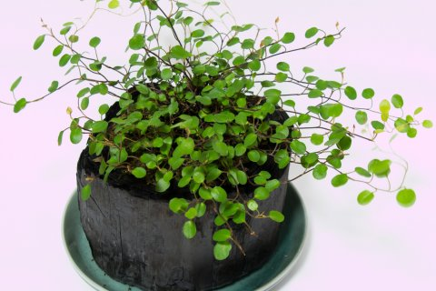 人気観葉植物ワイヤープランツ