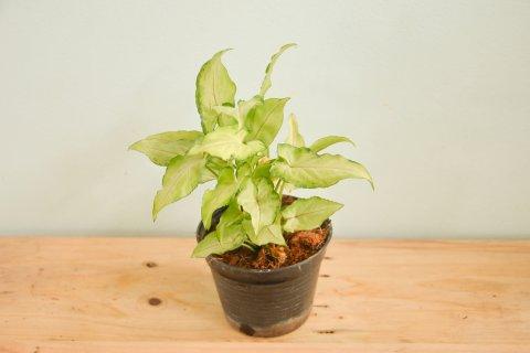 シンゴニウム 鉢植え