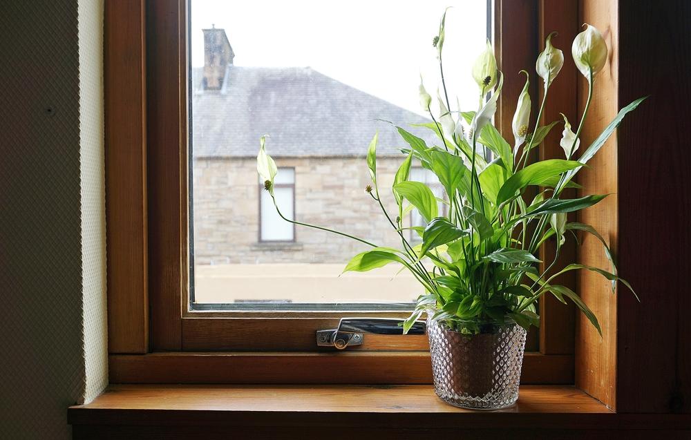窓際にインテリアとして飾られているスパティフィラムの鉢植えの画像