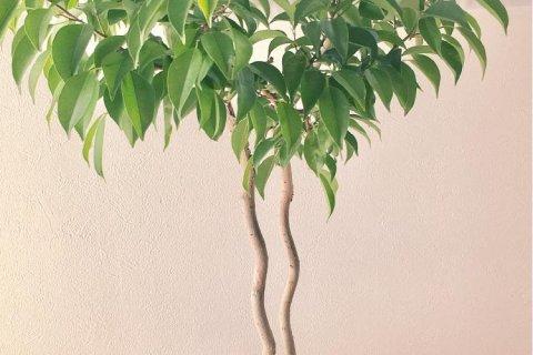 ベンジャミン(観葉植物)