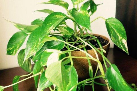 日陰 でも 育つ 観葉 植物