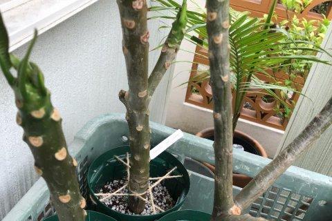 イチジク 挿し木 時期