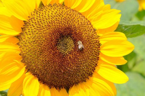 ひまわり 花 言葉 ひまわり(向日葵)の12の花言葉!本数で意味が違う?由来が怖い?