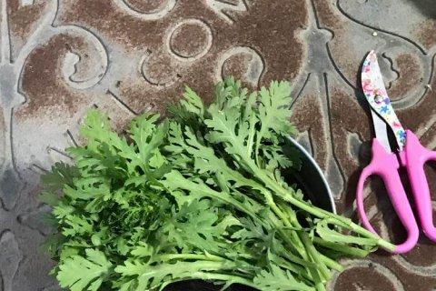 シュンギク 春菊 苗 野菜 収穫