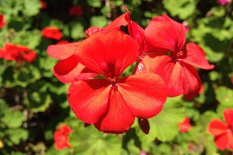ゼラニウムとは、花壇や街路樹など多くの場所で見られる、日本ではとてもポピュラーな花です。一年草や多年草、落葉低木まで様々な種類があります。