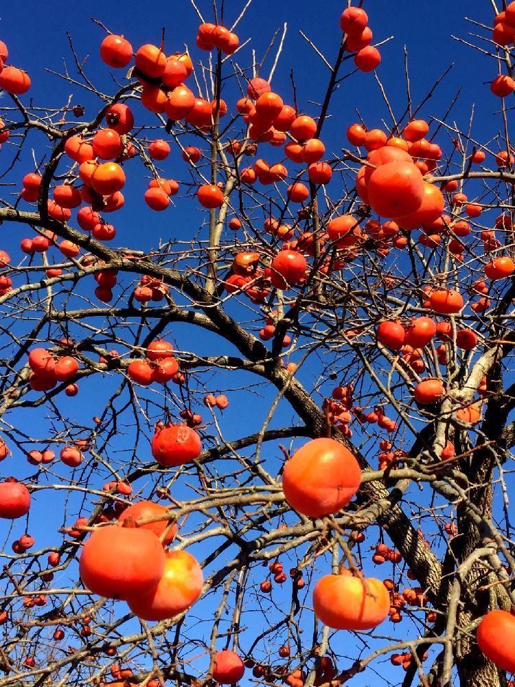 の 時期 柿の木 剪定 柿の剪定時期は11〜2月が吉!手順や実がなる枝を残す方法を伝授!|YOURMYSTAR STYLE