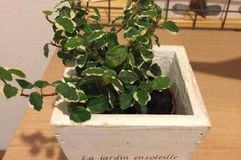 ゴムの木(フィカス) 観葉植物