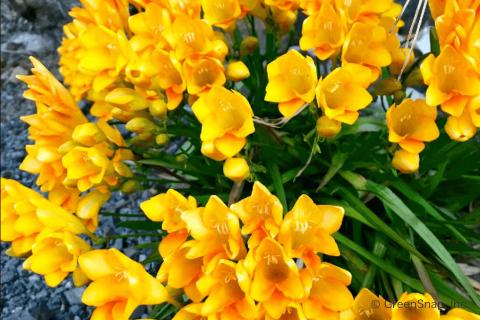 フリージア 花