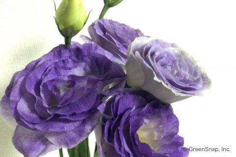 言葉 桔梗 の 花 桔梗の花言葉を添えて☆大切な人に贈り物をするための7つの方法