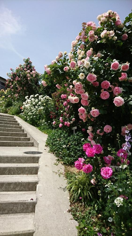 薔薇の育て方
