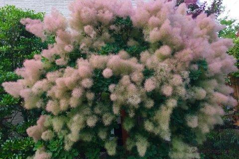 スモークツリー(煙の木)の育て方!剪定や挿し木の時期と方法は?