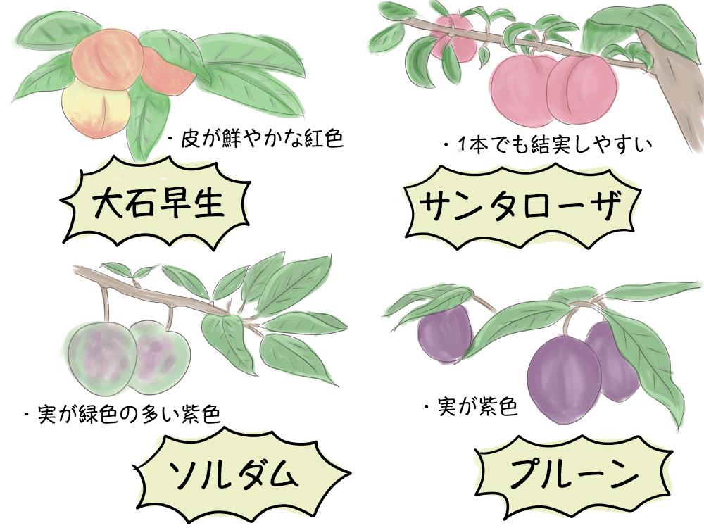 プラム(スモモ)の品種 すももの品種 大石早生 サンタローザ ソルダム プルーン