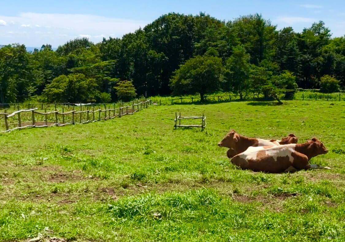 牛糞 堆肥