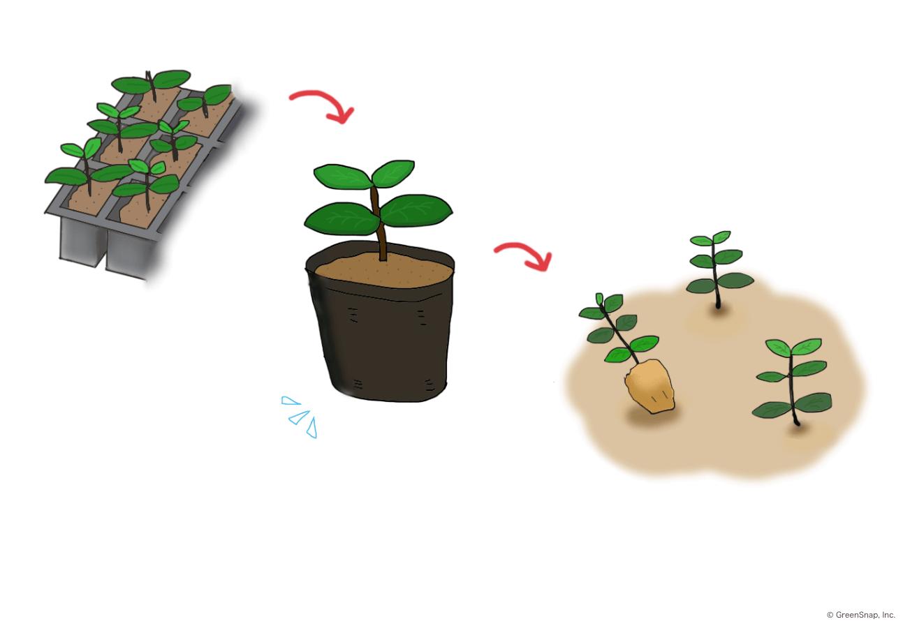 芽を苗植え、地植えしていく様子のイラスト画像