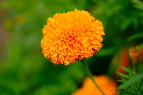 マリーゴールドは花色で花言葉が違う?意味や由来の神話は?