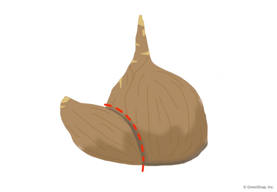 球根の分球方法の画像