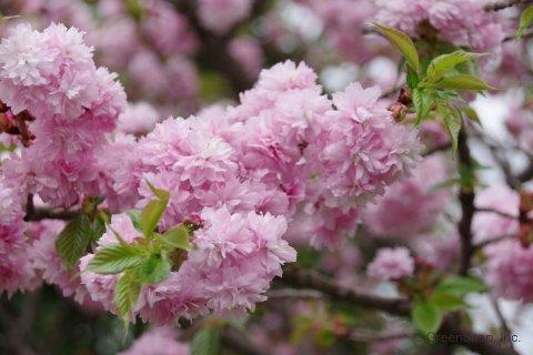 八重桜(牡丹桜)とは?どんな花木?