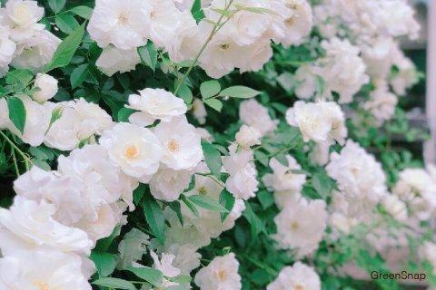 つるバラ 枝変り性つるバラ(Cl)