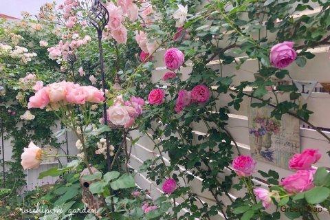 シュラブ・ローズ つるバラ