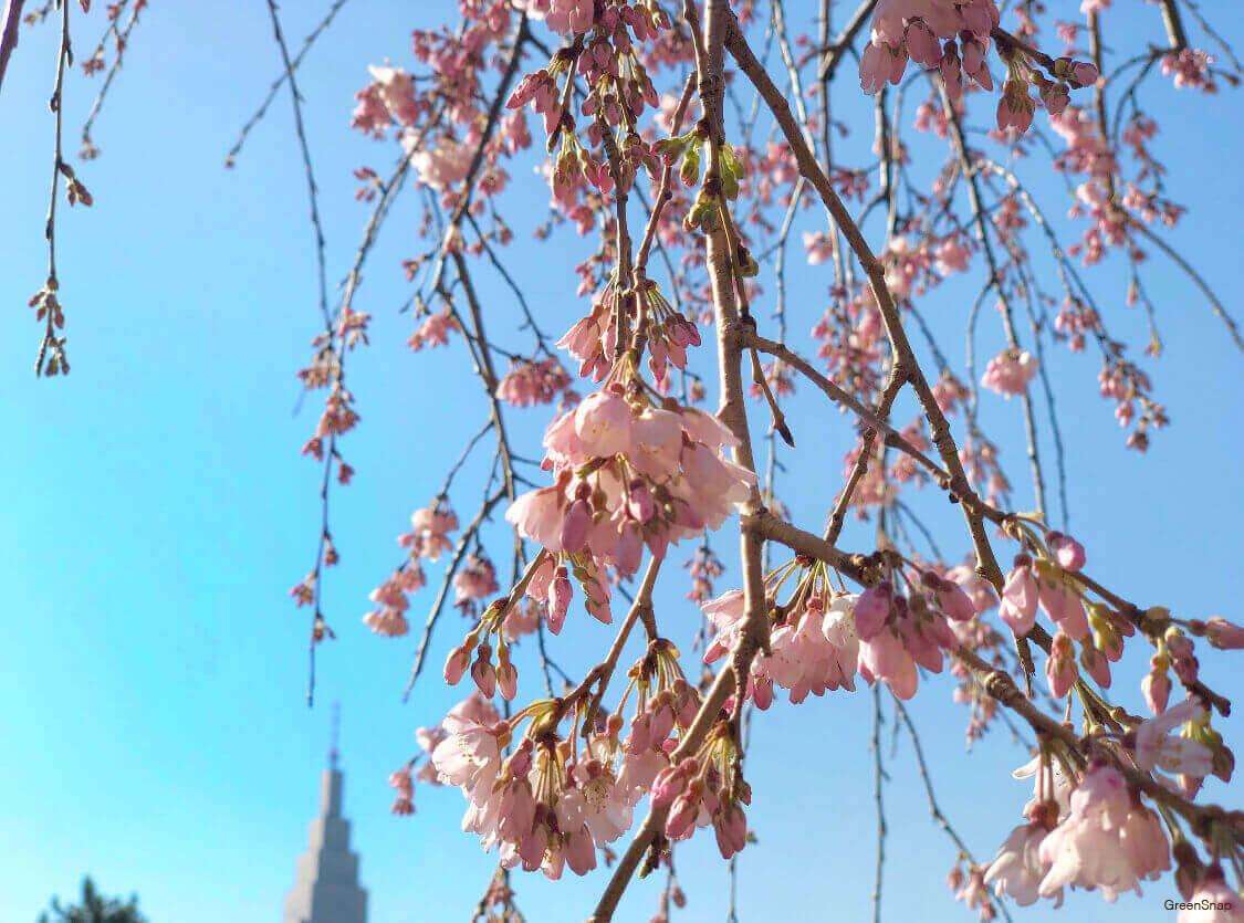 枝垂桜 しだれ桜