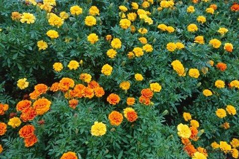 マリーゴールドとは?どんな花を咲かせる植物?