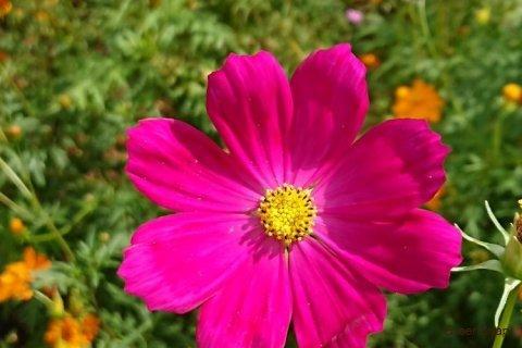 コスモス(秋桜) ベルサイユ 花 ピンク