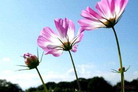 コスモス(秋桜) 花 ピンク