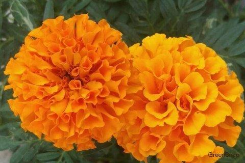 マリーゴールドの花言葉 花の季節や種類 開花時期は Horti ホルティ By Greensnap