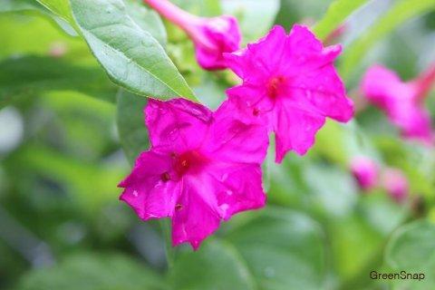 オシロイバナ 花 ピンク