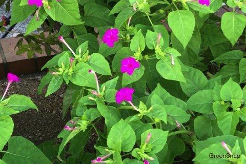 オシロイバナ 花 紫
