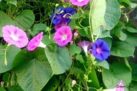 アサガオ 朝顔 花 ピンク 水色 紫