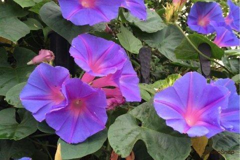 アサガオ 朝顔 琉球朝顔(ノアサガオ/オーシャンブルー) 花 紫