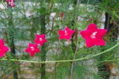 アサガオ 朝顔 ルコウソウ(縷紅草) 花 ピンク