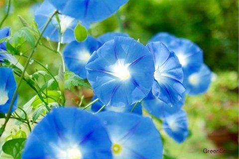 アサガオ 朝顔 ヘブンリーブルー(ソライロアサガオ/西洋アサガオ) 花 水色