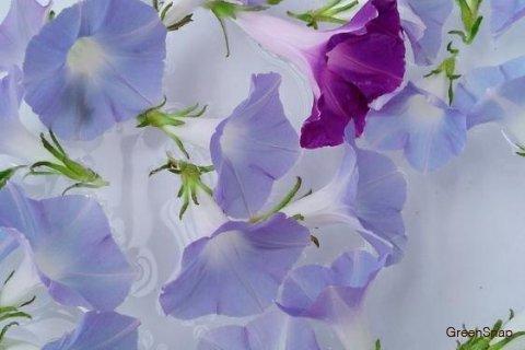 アサガオ 朝顔 花 水色 紫