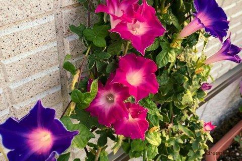 アサガオ 朝顔 花 赤 紫 カーテン
