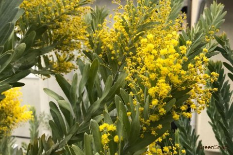 アカシア 木 花 黄色