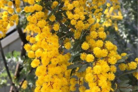 アカシア 花 葉 木 黄色