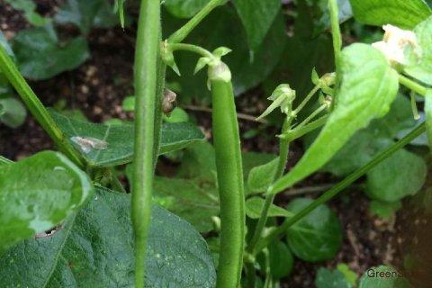 インゲン 栽培