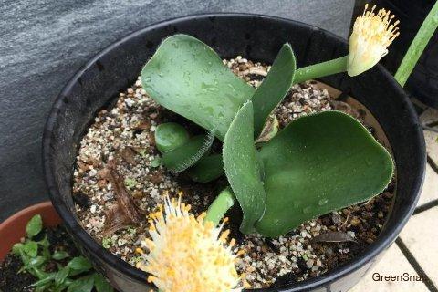 マユハケオモト(ハエマンサス) 花 鉢植え