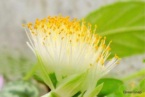 マユハケオモト(ハエマンサス) 花