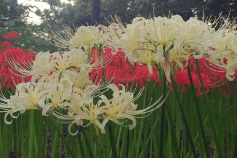 本当に不吉な花なの?】ヒガンバナ(彼岸花)の花言葉、特徴や種類