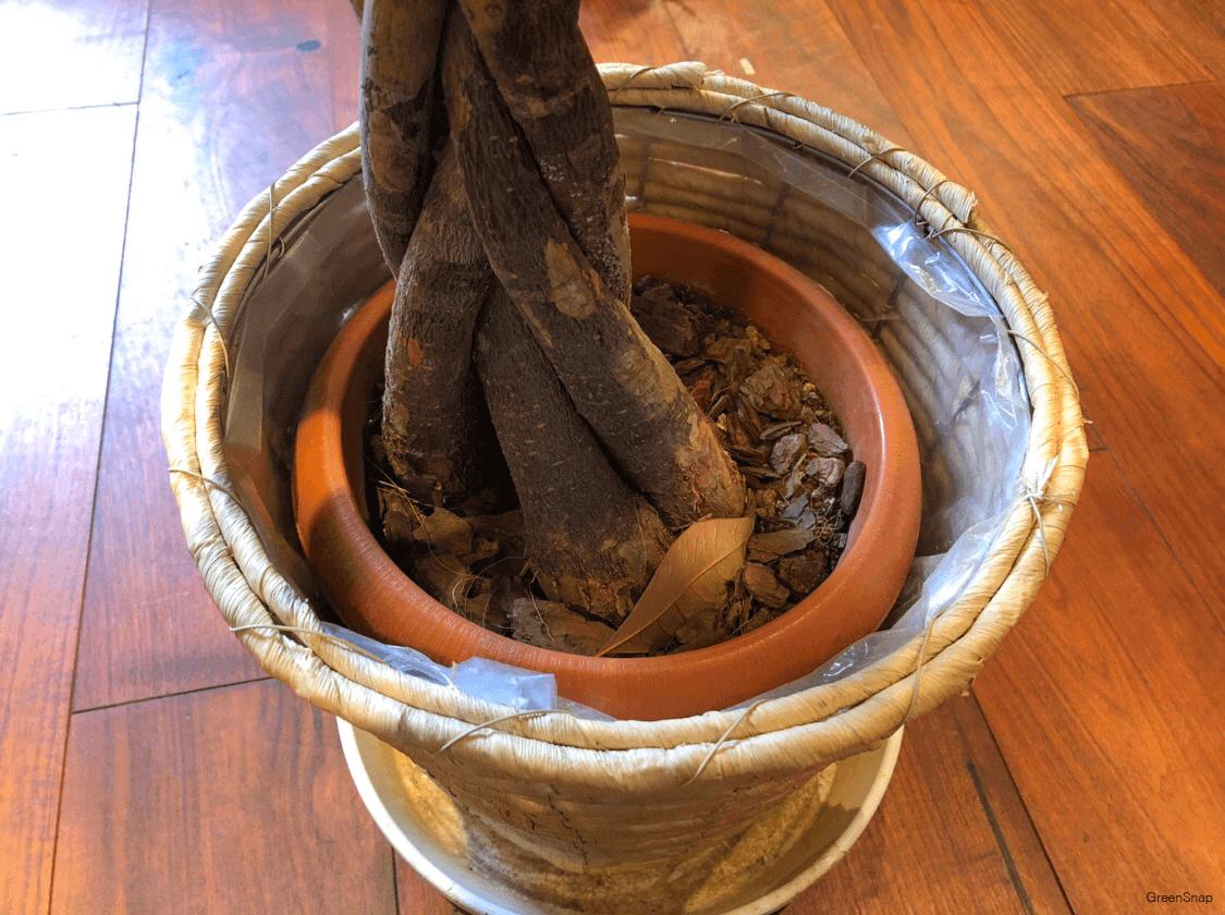 パキラ 観葉植物