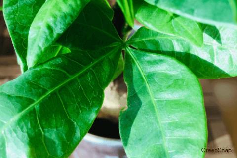 パキラ 観葉植物 鉢植え