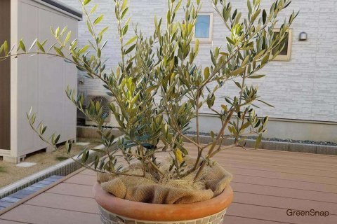 木 オリーブ 剪定 の