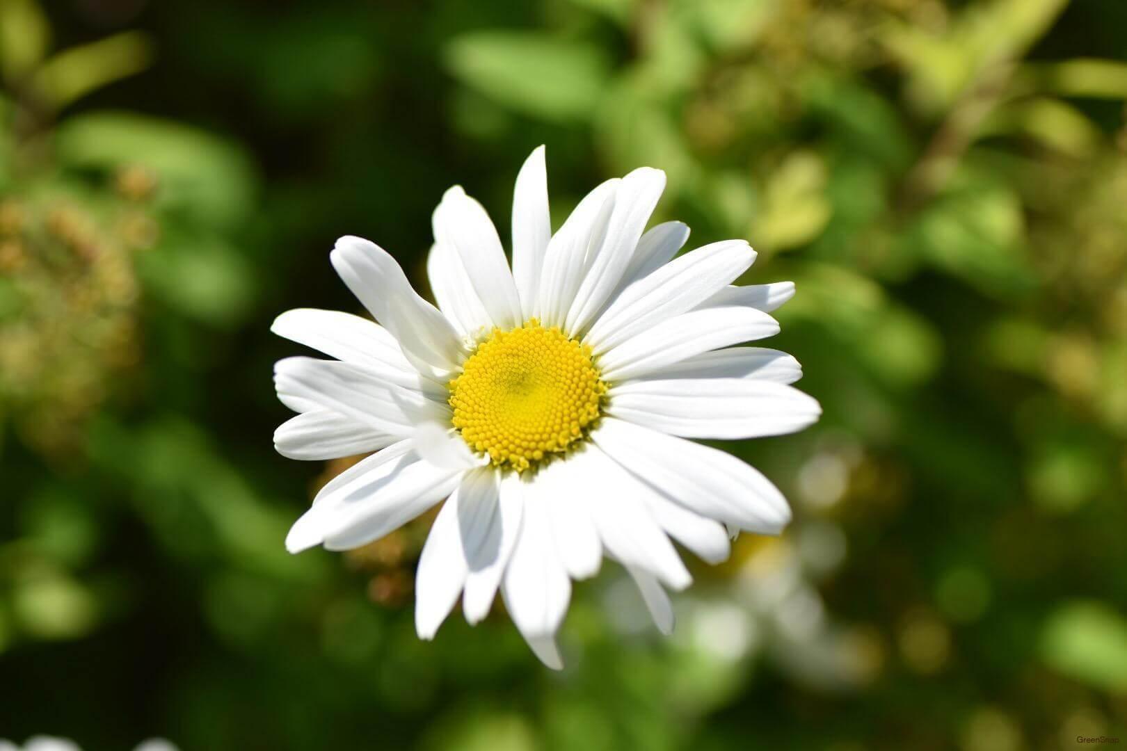 白色のマーガレットの花の画像