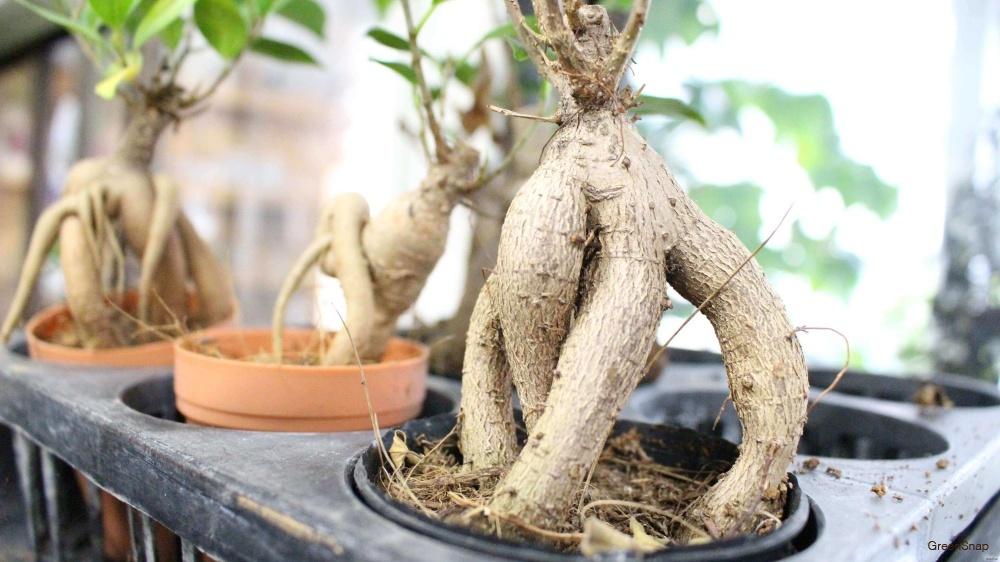 観葉植物ガジュマルの鉢植えの画像